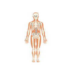Human skeletal system anatomy of human body vector