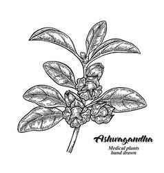 Hand drawn ashwagandha medical plant isolated vector