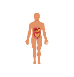 Human digestive system anatomy of human body vector