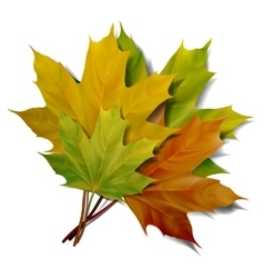 Realistic green and yellow maple leaves vector image