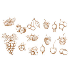 berries and fruits isolated sketches vector image