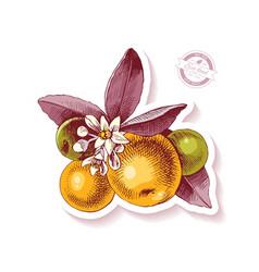 Sticker with hand drawn tangerine branch vector