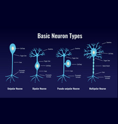 basic neuron types composition vector image