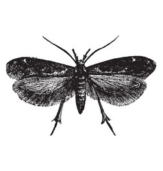 Dorsal view of gall moth vintage vector