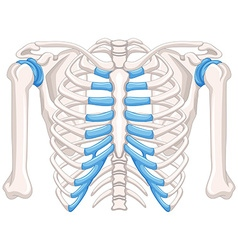 Human bone diagram on white background vector
