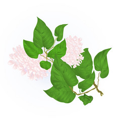 branch of white lilac with flowers vector image