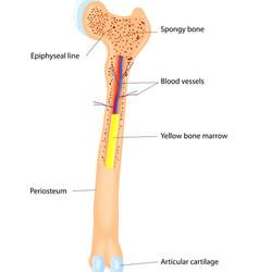 Bone Anatomy scheme vector image