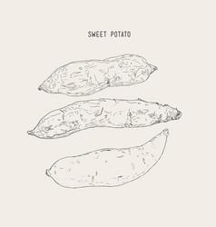 set ot sweet pototoes hand drawn sketch vector image