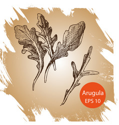 background sketch arugula vector image