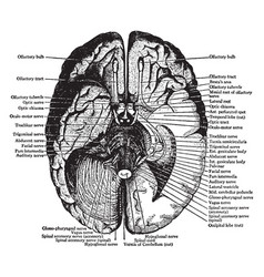 Under surface of the brain vintage vector