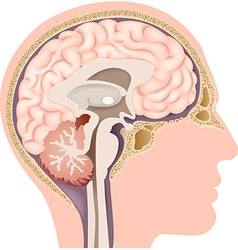 Cartoon of Human Internal Brain Anatomy vector image