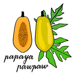 Papaya sketch hand drawn vector