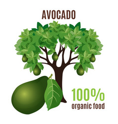 avocado tree isolated with fruit below 100 vector image vector image