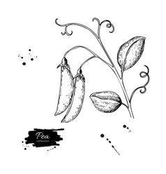 pea pod hand drawn isolated vector image