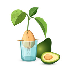 Avocado growing bone stem and leaves in glass of vector