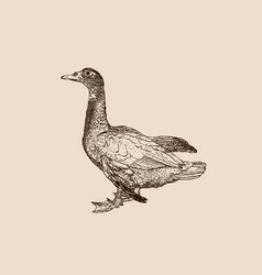 duck engraving on retro background vector image