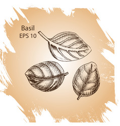 Background sketch basil vector