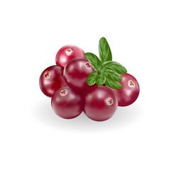 Cranberry fruits vector