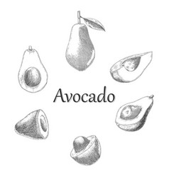 avocado hand drawing engraving style vector image