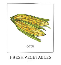hand drawn of isolated corn cob vector image
