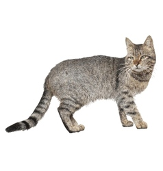 drawing of cat isolated on white vector image