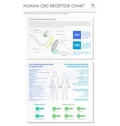 Human cbd receptor chart vertical business vector