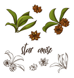 hand drawn star anise herb decorative element in vector image