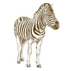 engraving of african zebra vector image