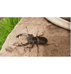 European stag beetle vector