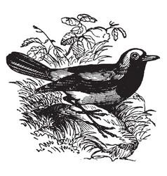 Redstart bird vintage vector