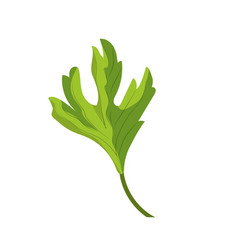 Coriander herb to natural condiment of food vector