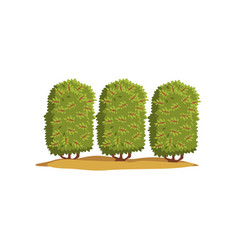 coffee tree plantation on a vector image