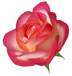 beautiful tea rose on a white vector image