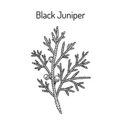black juniper juniperus indica evergreen vector image