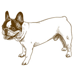 engraving antique french bulldog vector image