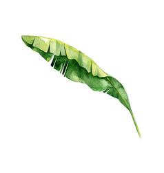 isolated watercolor green plant leaf deocration vector image