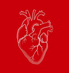 heart the internal human organ anatomical vector image vector image