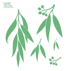 Eucalyptus Isolated leaves vector image