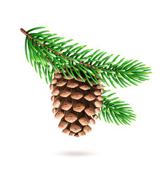 Realistic pine cone at fir tree branch vector