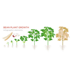 Bean plant growth stages infographic elements in vector