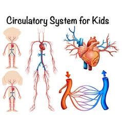 Circulatory system for kids vector