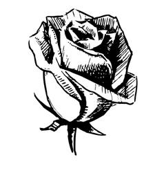 Rose bud sketch vector image