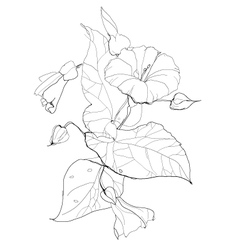 Bindweed vector image