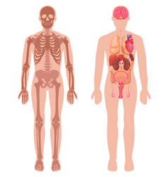 Human anatomy set vector