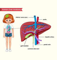 Scientific medical liver anatomy vector