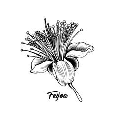 feijoa flower black and white vector image