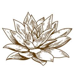engraving of succulent echeveria vector image vector image
