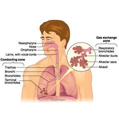 Lungs-Respiratory-detail vector