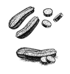 Hand drawn set of zucchini sketch vector