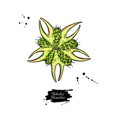 Tribulus terrestris seed drawing isolated vector